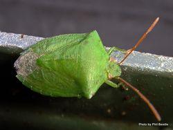 Phil Bendle Collection:Bug (Shield bug) (Green Potato Bug) Cuspicona simplex