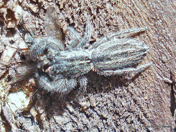 Grey Holoplatys Jumping spider-9.JPG