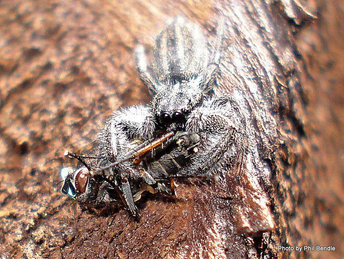 Grey Holoplatys Jumping spider.JPG