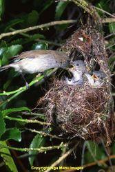 Phil Bendle Collection:Grey Warbler (Gerygone igata)
