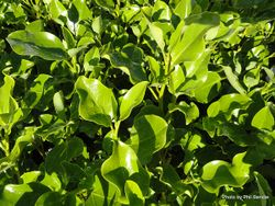 Phil Bendle Collection:Griselinia littoralis Broadway Mint
