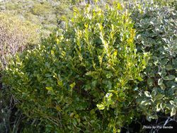 Phil Bendle Collection:Griselinia littoralis (Broadleaf, Kapuka)