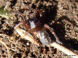 Phil Bendle Collection:Ground spider (Maniho spp. )