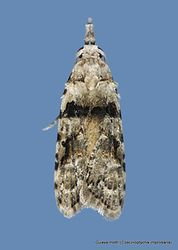 Phil Bendle Collection:Coscinoptycha improbana (Guava moth)