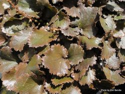 Phil Bendle Collection:Gunnera prorepens