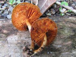 Phil Bendle Collection:Gymnopilus (Genus)