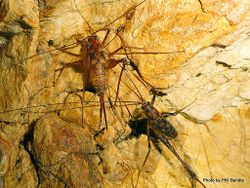 Phil Bendle Collection:Weta (Cave) Goldmine (Gymnoplectron uncata)