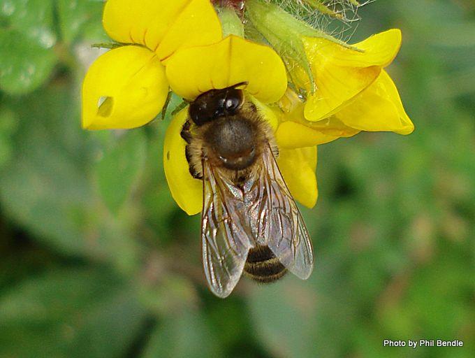 Hairy colletid bee Leioproctus species.JPG