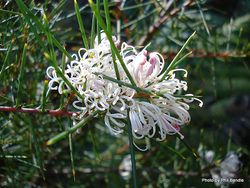 Phil Bendle Collection:Hakea decurrens (Bushy Needlewood)