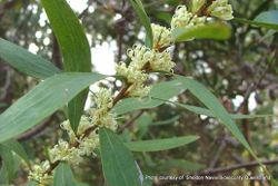 Phil Bendle Collection:Hakea salicifolia (Willow leaved hakea)