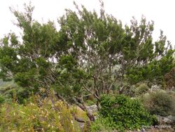 Phil Bendle Collection:Halocarpus biformis (Yellow pine)