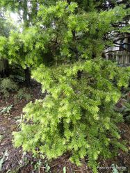 Phil Bendle Collection:Halocarpus kirkii (Kirk s pine)