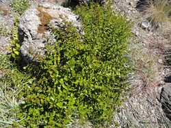 Phil Bendle Collection:Haloragis erecta subsp. erecta (Shrubby haloragis)