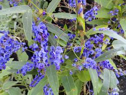 Phil Bendle Collection:Hardenbergia violacea (Happy wanderer)