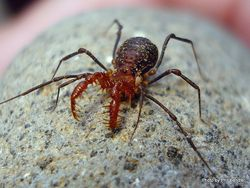 Phil Bendle Collection:Harvestman (Soerensenella prehensor)