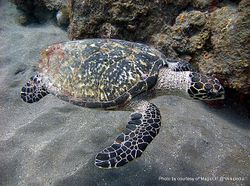 Phil Bendle Collection:Turtle (Hawksbill) Eretmochelys imbricata