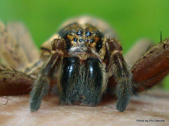 Head of Dolomedes minor Nursery Spider.JPG