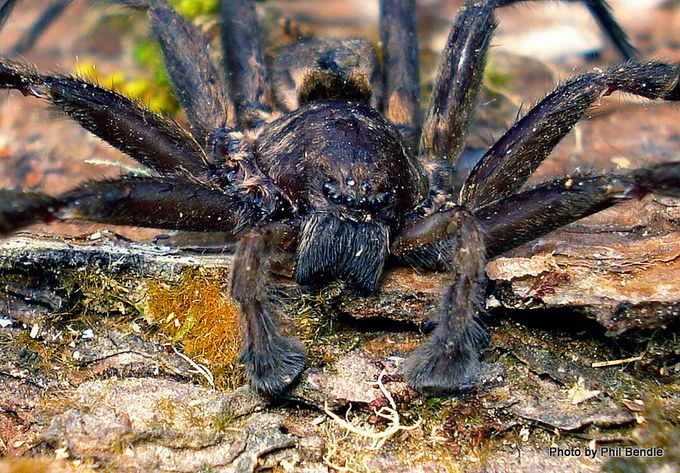 Head of Vagrant Prowling spider 13.JPG