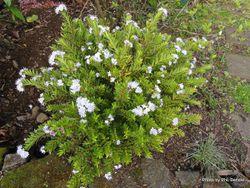 Phil Bendle Collection:Hebe diosmifolia 'Mauve'