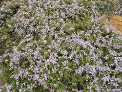 Phil Bendle Collection:Hebe Hartii ( Lavender Spray )