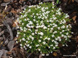 Phil Bendle Collection:Hebe Odora (Hebe buxifolia Nana )