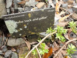Phil Bendle Collection:Hebe 'Rock and Pillar' (tag name)