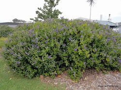 Phil Bendle Collection:Hebe Speciosa Blue (Hebe Azure)