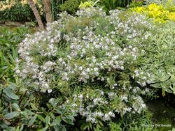 Phil Bendle Collection:Hebe divaricata (Hebe Snow Fall)