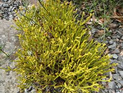 Phil Bendle Collection:Hebe lycopodioides subsp. lycopodioes