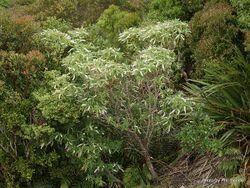 Phil Bendle Collection:Hebe salicifolia (Koromiko)