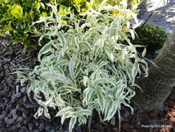 Phil Bendle Collection:Hebe stricta Variegata