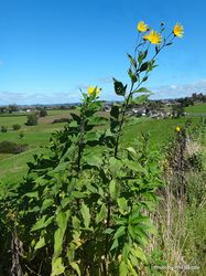 Phil Bendle Collection:Helianthus tuberosus (Jerusalem artichoke)