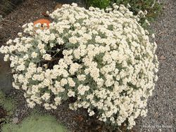 Phil Bendle Collection:Helichrysum Silver Cushion