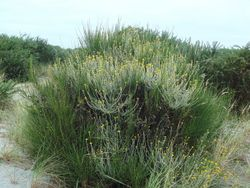 Phil Bendle Collection:Helichrysum cymosum (Yellow-tipped straw-flower)
