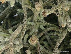 Phil Bendle Collection:Helichrysum plumeum (NZ alpine strawflower)