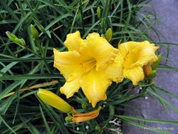 Phil Bendle Collection:Hemerocallis (Daylilies)