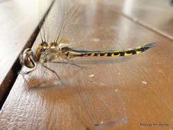 Phil Bendle Collection:Dragonfly (Australian Emerald) Hemicordulia australiae