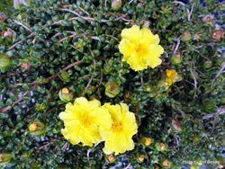 Phil Bendle Collection:Hibbertia serpyllifolia (Guinea flower)