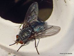 Phil Bendle Collection:Fly (Brachycera)