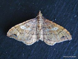Phil Bendle Collection:Homodotis megaspilata (Small hooked tip looper moth)