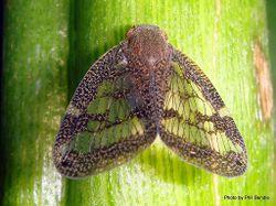 Phil Bendle Collection:Hopper (Passionvine) Scolypopa australis