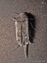 Phil Bendle Collection:Beetle (Pintail) Hoshihananomia antarctica