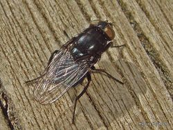 Phil Bendle Collection:Fly (House) Muscidae Species 1