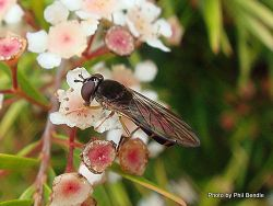 Phil Bendle Collection:Fly (Hover) Genus Platycheirus
