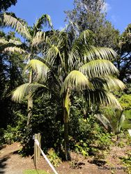 Phil Bendle Collection:Howea forsteriana (Kentia palm)