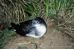 Phil Bendle Collection:Shearwater (Hutton s shearwater) Puffinus huttoni