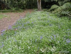 Phil Bendle Collection:Hyacinthoides hispanica (Spanish bluebell)