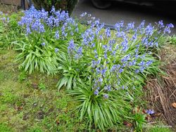 Phil Bendle Collection:Hyacinthoides non-scripta (Bluebell)