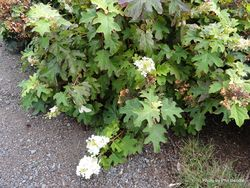 Phil Bendle Collection:Hydrangea quercifolia (Oakleaf hydrangea)