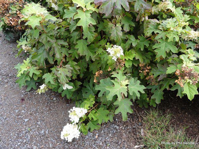 Hydrangea quercifolia Oakleaf hydrangea -008.JPG